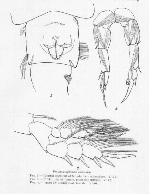 Pseudodiaptomus coronatus female