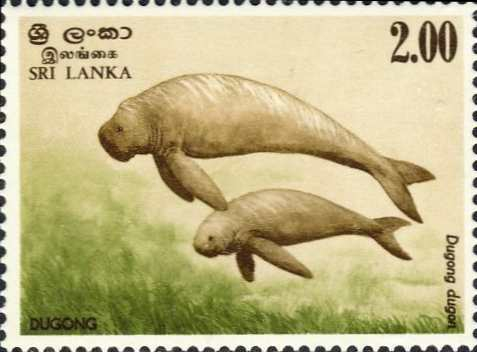 Dugong dugon