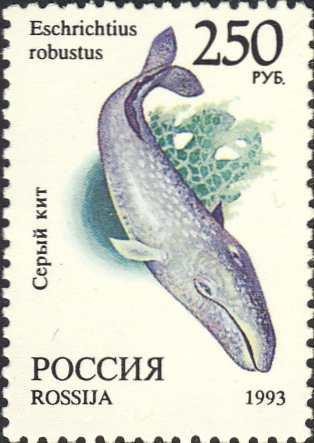 Eschrichtius robustus