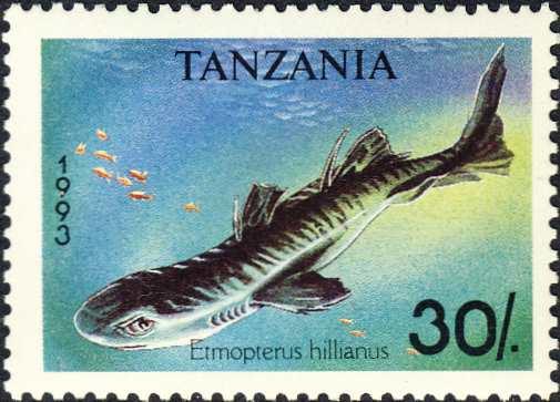 Etmopterus hillianus