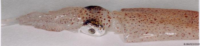 Alloteuthis subulata (Lamarck, 1798)