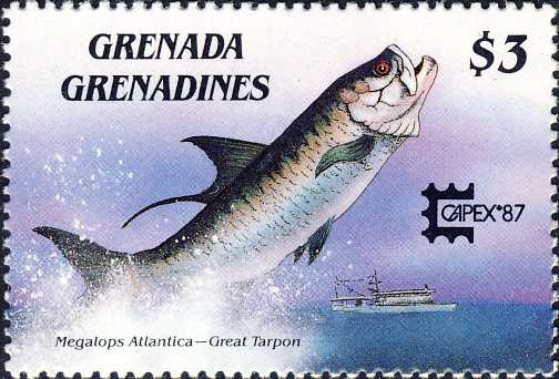 Megalops atlanticus