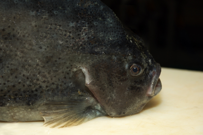 Lumpfish - Cyclopterus lumpus