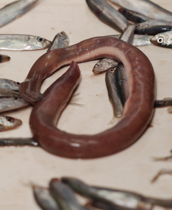 Atlantic hagfish - Myxine glutinosa