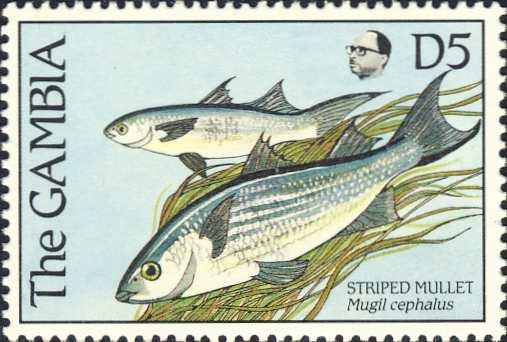 Mugil cephalus