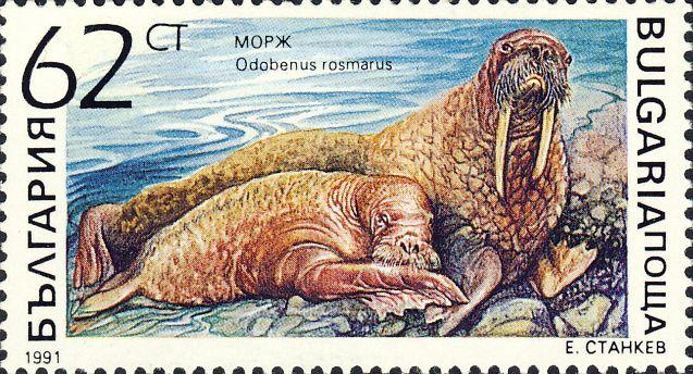 Odobenus rosmarus