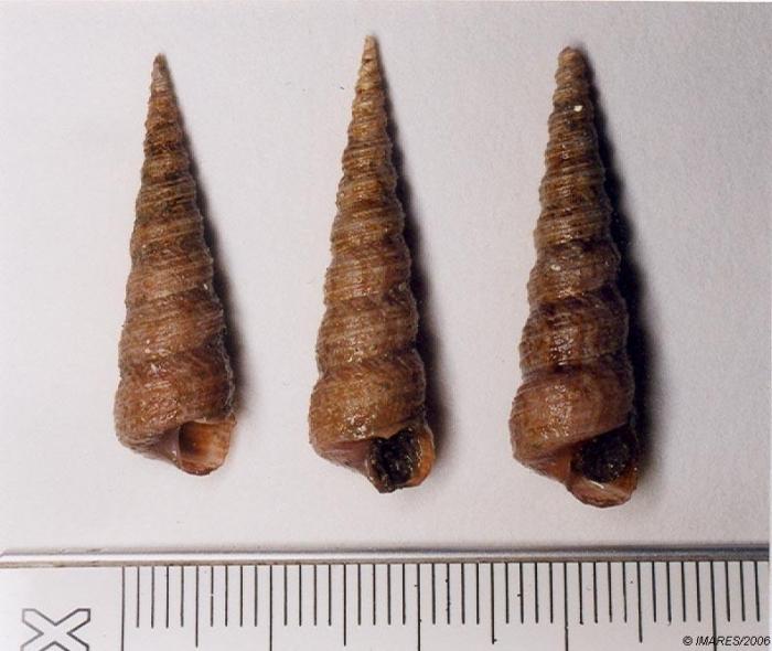 Turritella communis Risso, 1826