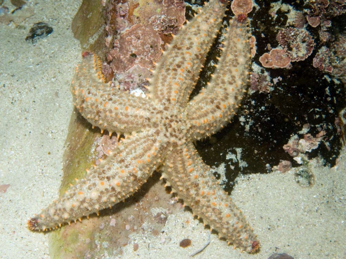 Marthasterias glacialis (South African colour form)