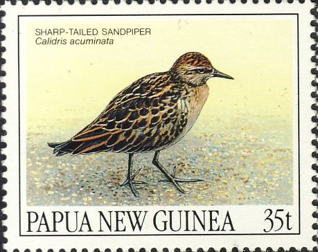 Calidris acuminata