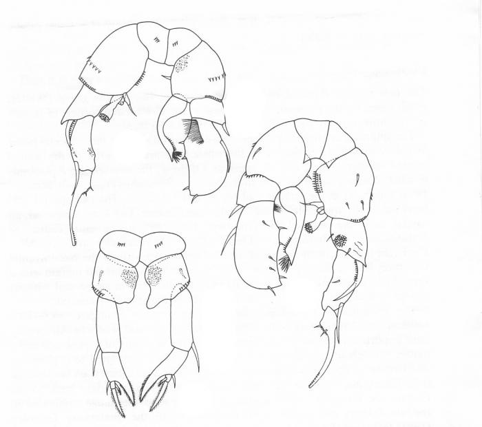 Pseudodiaptomus pankajus