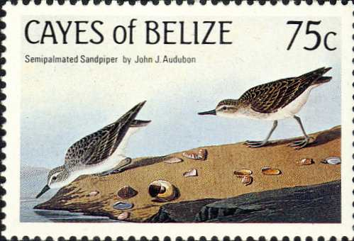 Calidris pusilla