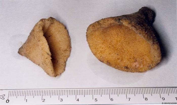 Axinella infundibuliformis (Linnaeus, 1759)
