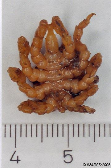 Pycnogonum litorale (Strom, 1762) , female ventral