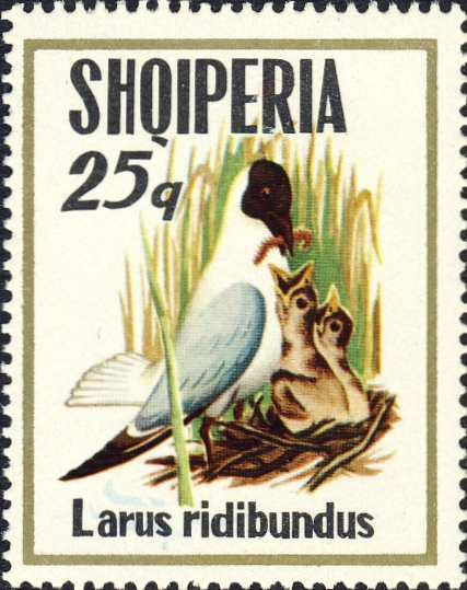 Larus ridibundus