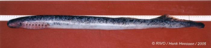 Petromyzon marinus Linnaeus, 1758