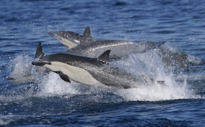 Short-beaked common dophins off California