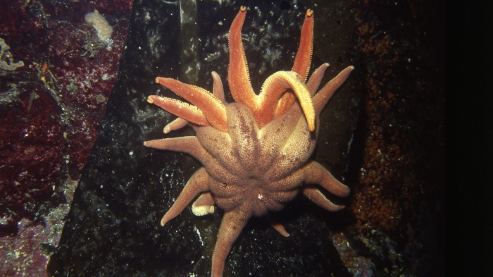 Solaster dawsoni From British Columbia, Canada