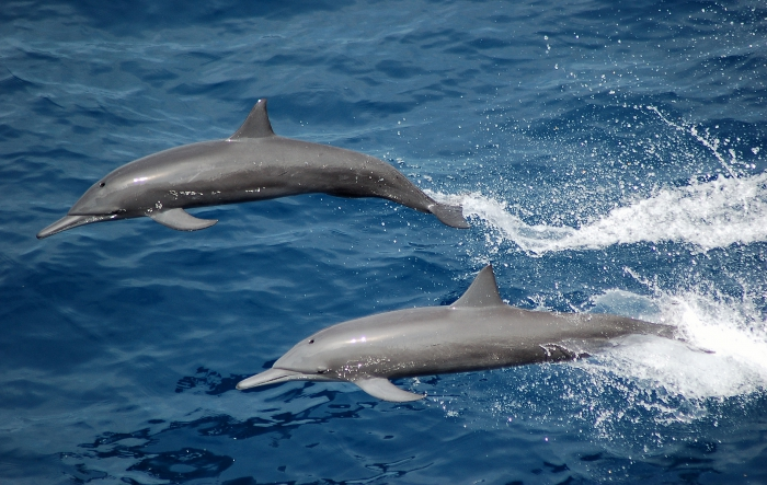 Spinner dolphins in the eastern tropical Pacific