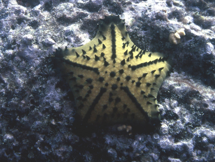 Nidorellia armata from Galapagos Islands.