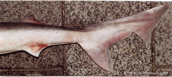 Galeorhinus galeus (Linnaeus, 1758)