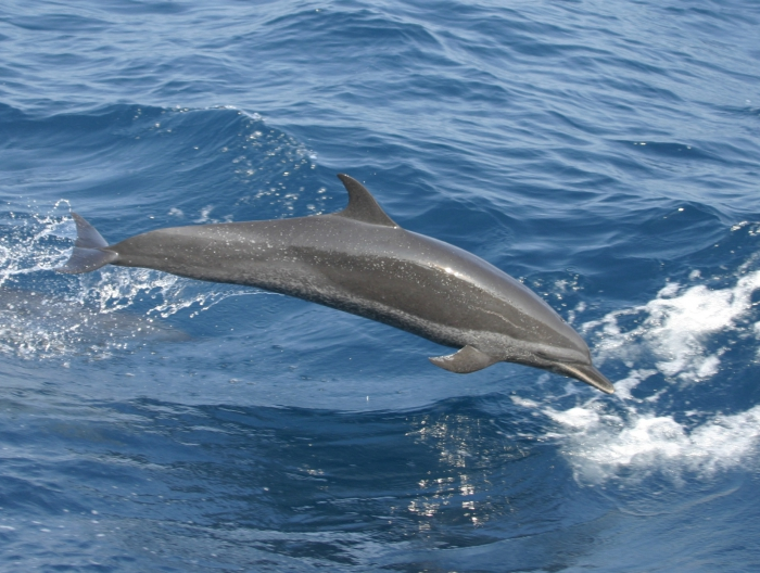 Juvenile pantropical spotted dolphin (Stenella attenuata) in the eastern tropical Pacific.