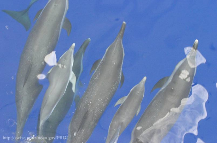Pantropical spotted dolphins (Stenella attenuata) on the bow of a ship.  Note unspotted calves.