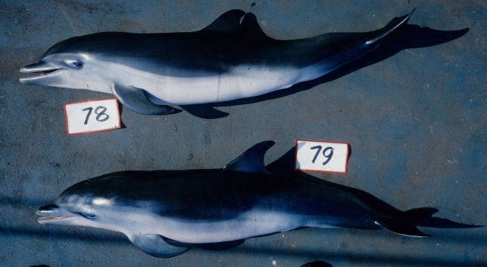 Pantropical spotted dolphin (Stenella attenuata) newborn calves bycaught in tuna purse seine fishery.