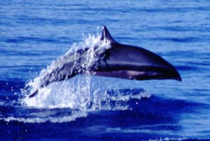 Fraser's dolphin (Lagenodelphis hosei) in the Philippines - adult male