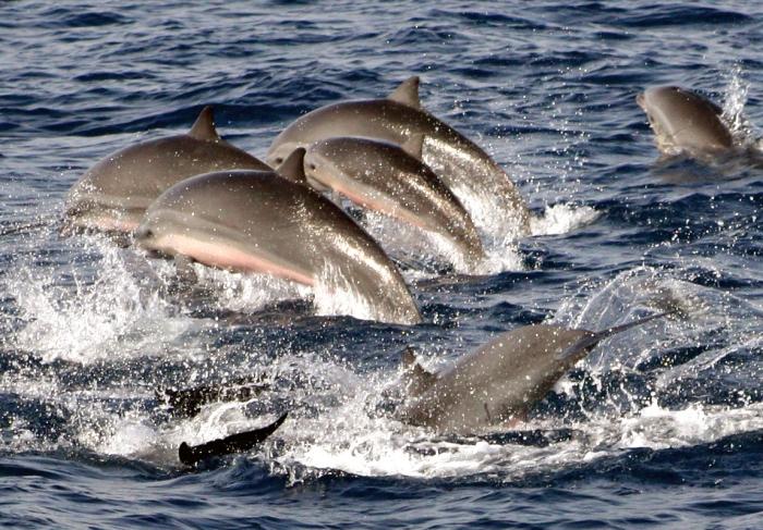 Fraser's dolphins (Lagenodelphis hosei) in the Philippines
