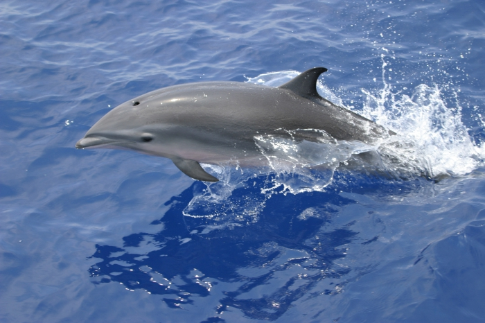 Fraser's dolphin (Lagenodelphis hosei) in the Philippines - female or juvenile