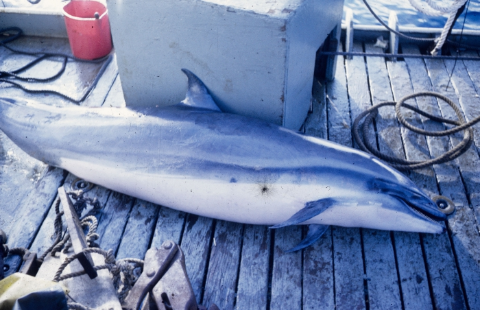 Fraser's dolphin (Lagenodelphis hosei) bycaught in tuna purse seine fishery
