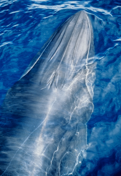 Bryde's whale (Balaenoptera edeni) - Note 3 ridges on head.