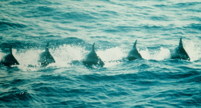 Pygmy killer whales (Feresa attenuata) in the eastern tropical Pacific