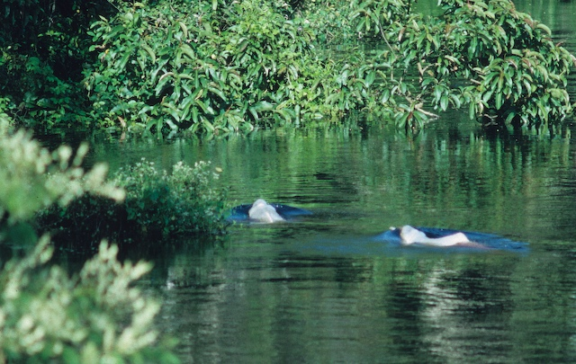 Amazon river dolphins (Inia geoffrensis)