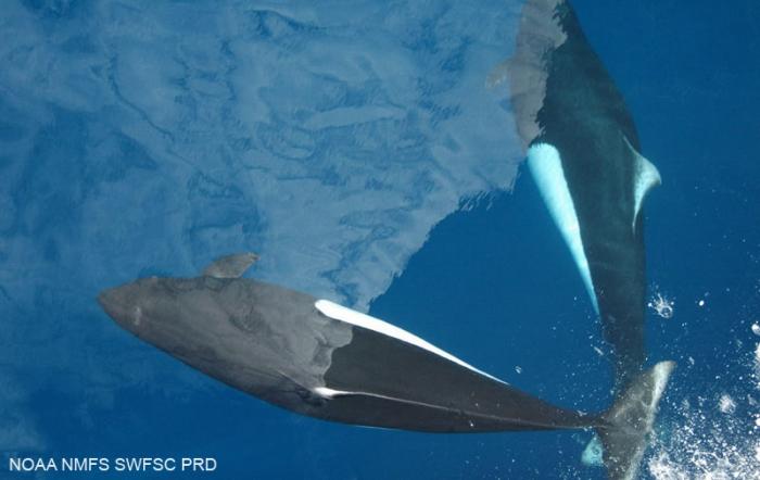 Dall's porpoise (Phocoenoides dalli)
