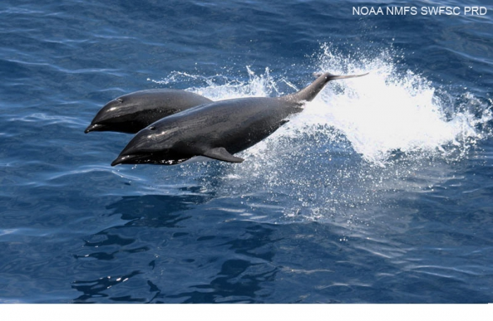 Northern right whale dolphin (Lissodelphis borealis)
