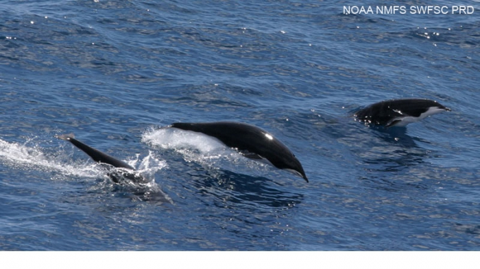 Northern right whale dolphins (Lissodelphis borealis)