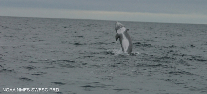 Risso's dolphin  (Grampus griseus)