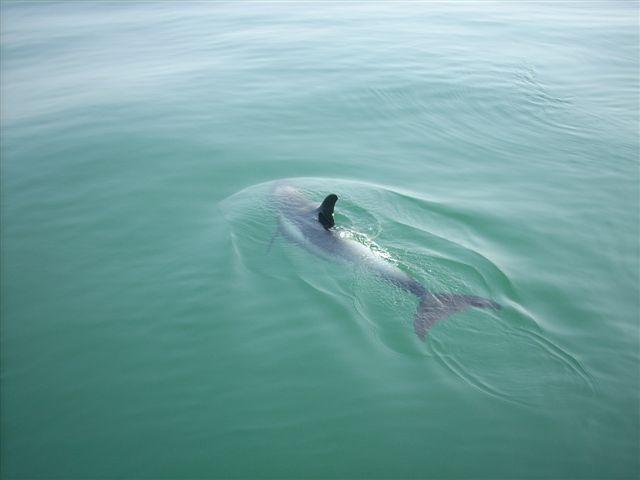 White-beaked dolphin - Lagenorhynchus albirostris