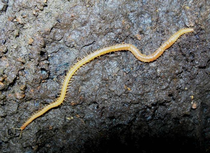 Stigmatogaster subterranea, River Lynher, Cornwall