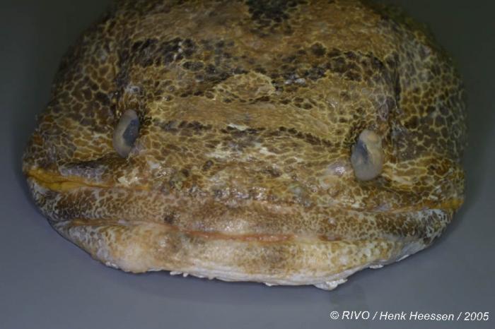 Halobatrachus didactylus (Bloch & Schneider, 1801)