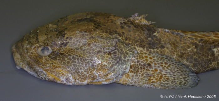 Halobatrachus didactylus (Bloch &amp; Schneider, 1801) 