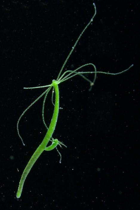 Hydra viridissima: Anthoathecata, Aplanulata, Hydridae