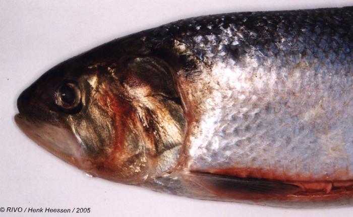 Alosa alosa (Linnaeus, 1758)