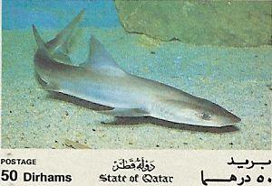Chaenogaleus macrostoma