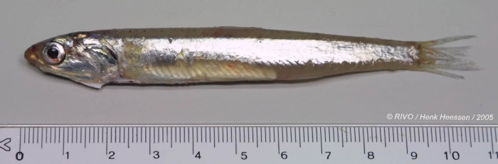 Engraulis encrasicolus (Linnaeus, 1758)