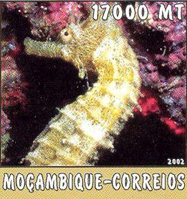 Hippocampus sp.