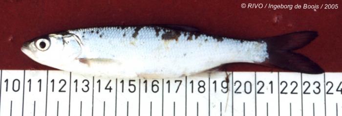 Alburnus alburnus (Linnaeus, 1758)