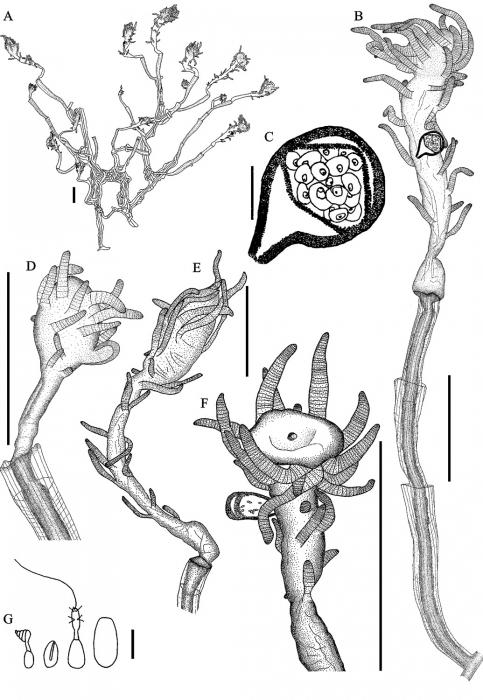 Tubiclavoides striatum
