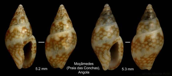 Mitrella psilla (Duclos, 1846)